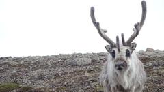 Sa rocks and reindeer