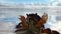 Cs crab