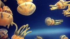 Cs jellyfish